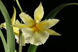 Miltoniopsis roezlii var. xanthina