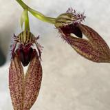 Bulbophyllum (Crown Point X fascinator)
