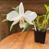 Dendrobium wattii