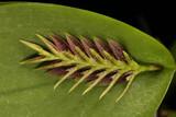 Pleurothallis pectinata