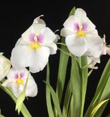 Miltoniopsis Rene Komoda