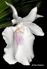 Cochleanthes amazonica - In Spike/Flower