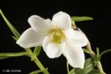 Dendrobium auriculatum, large