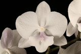 Phalaenopsis (Liu's Twilight Rainbow x Fuller's E-Plus)
