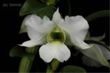 Dendrobium schuetzei - Starting to spike!
