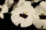 Miltoniopsis Lillian Nakamoto