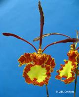 Psychopsis Mendenhall 'Hildos' FCC/AOS - Blooming Size