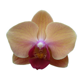 Photo courtesy of Younghome Orchids, Taiwan