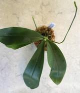 Phalaenopsis (Flores Gold x hieroglyphica)