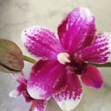 Phalaenopsis Taisuco Micky 'Taisuco'