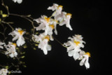 Oncidium Tsiku Marguerite - Multiple Spikes, 2""