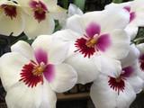 Miltoniopsis Ambre's Charm 'Cream Puff'