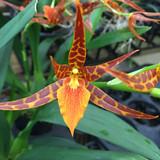 Adaglossum Tarantula 'Sweet Orange'