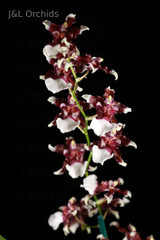 Oncidium Aka Baby 'Raspberry Chocolate', BS