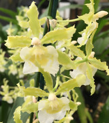 Oncidium Irish Mist 'Winter Green', In spike/flower