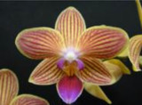 Phalaenopsis Ching Ruey Gold Staff