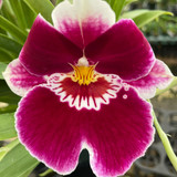 Miltoniopsis Edie Brown - Multiple spikes