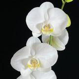Phalaenopsis amabilis - In Bud