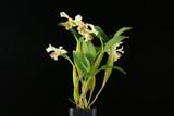 Dendrobium Royal Chip (Den. Micro Chip x Den. Roy Tokunaga)