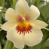Miltoniopsis Andrea West AM/AOS - In Bud & Open