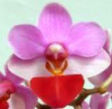 Phalaenopsis Liu's Cute Angel