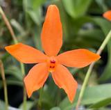 Neocogniauxiana monophylla