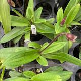 Paphiopedilum Vexillarium (barbatum x fairrieanum)