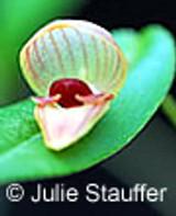 Pleurothallis palliolata - in Bud / flower