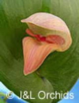Pleurothallis maduroi