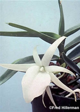 Angraecum didieri - Spiking
