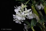 Dendrobium Mini Snowflake
