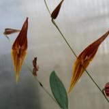 Lepanthes pastoensis