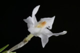 Dendrobium equitans