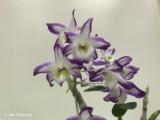 Dendrobium Hamana Lake 'Prism'