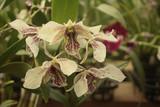 Dendrobium Roy Tokunaga NBS