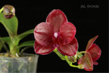 Phalaenopsis Haur Jih Fancy - In Spike