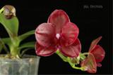 Phalaenopsis Haur Jih Fancy - In  flower