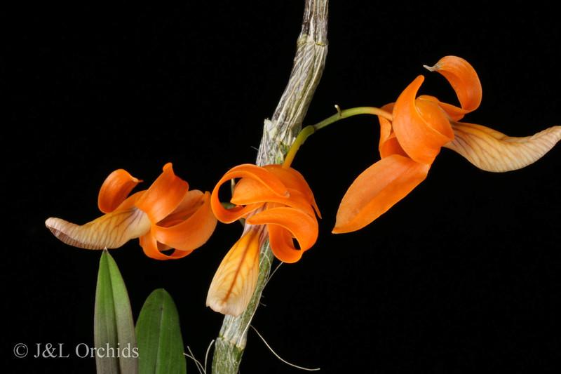 (New) Dendrobium unicum
