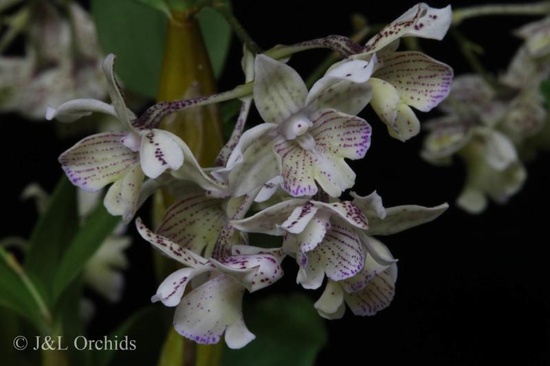 Dendrobium Micro Chip