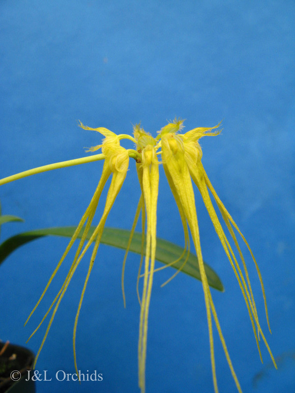 Bulbophyllum flaviflorum