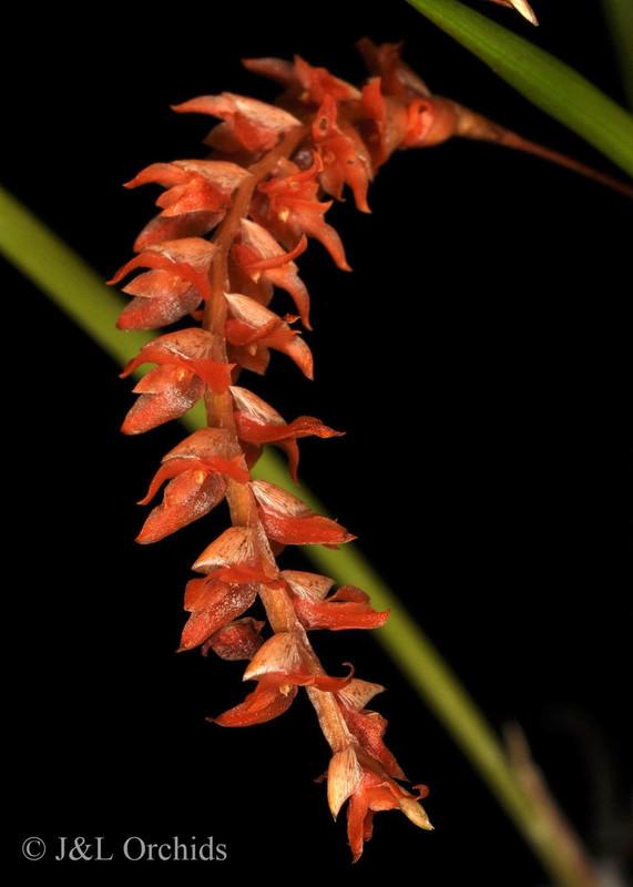 Dendrochilum wenzelii