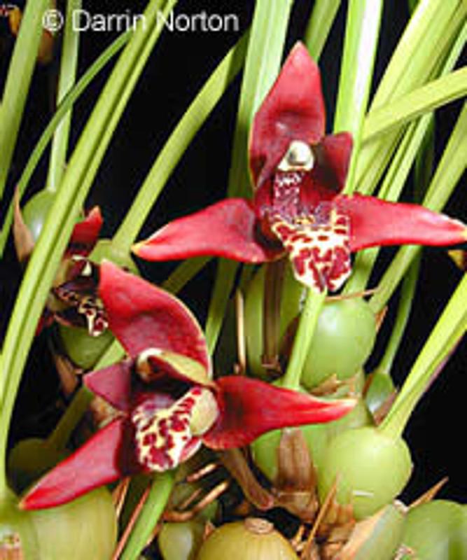 (New) Maxillaria tenuifolia