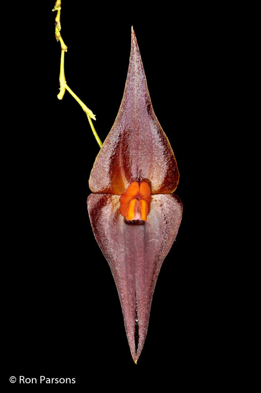 Lepanthes elegantula