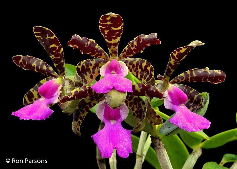 (New) Cattleya aclandiae