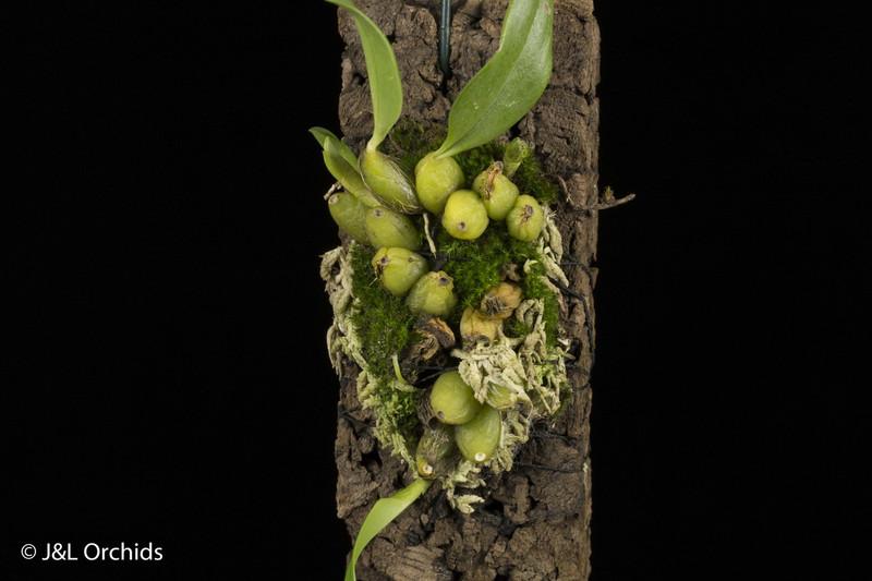 Bulbophyllum pectinatum