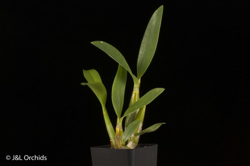 (New) Dendrobium Hawaii Spectacular