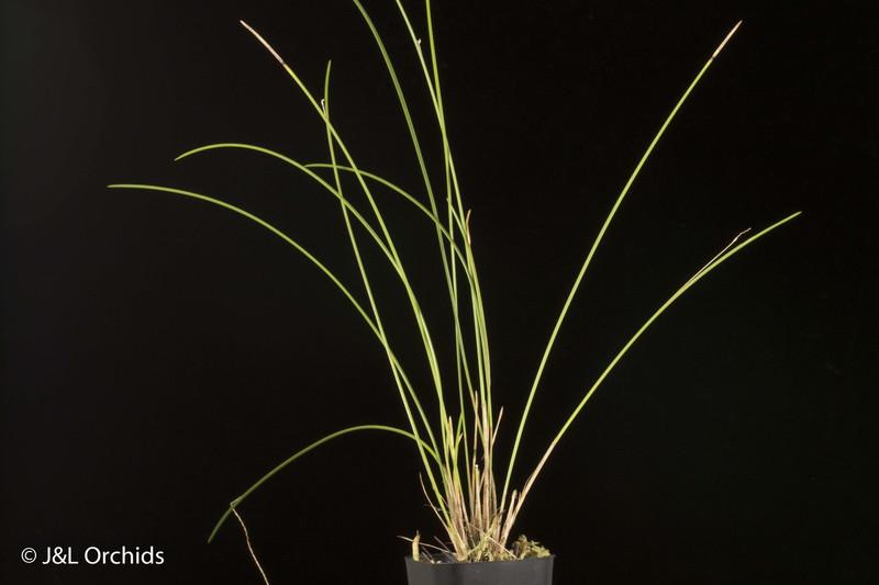 (New) Dendrochilum williamsii