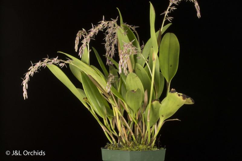 (New) Pleurothallis fastidiosa