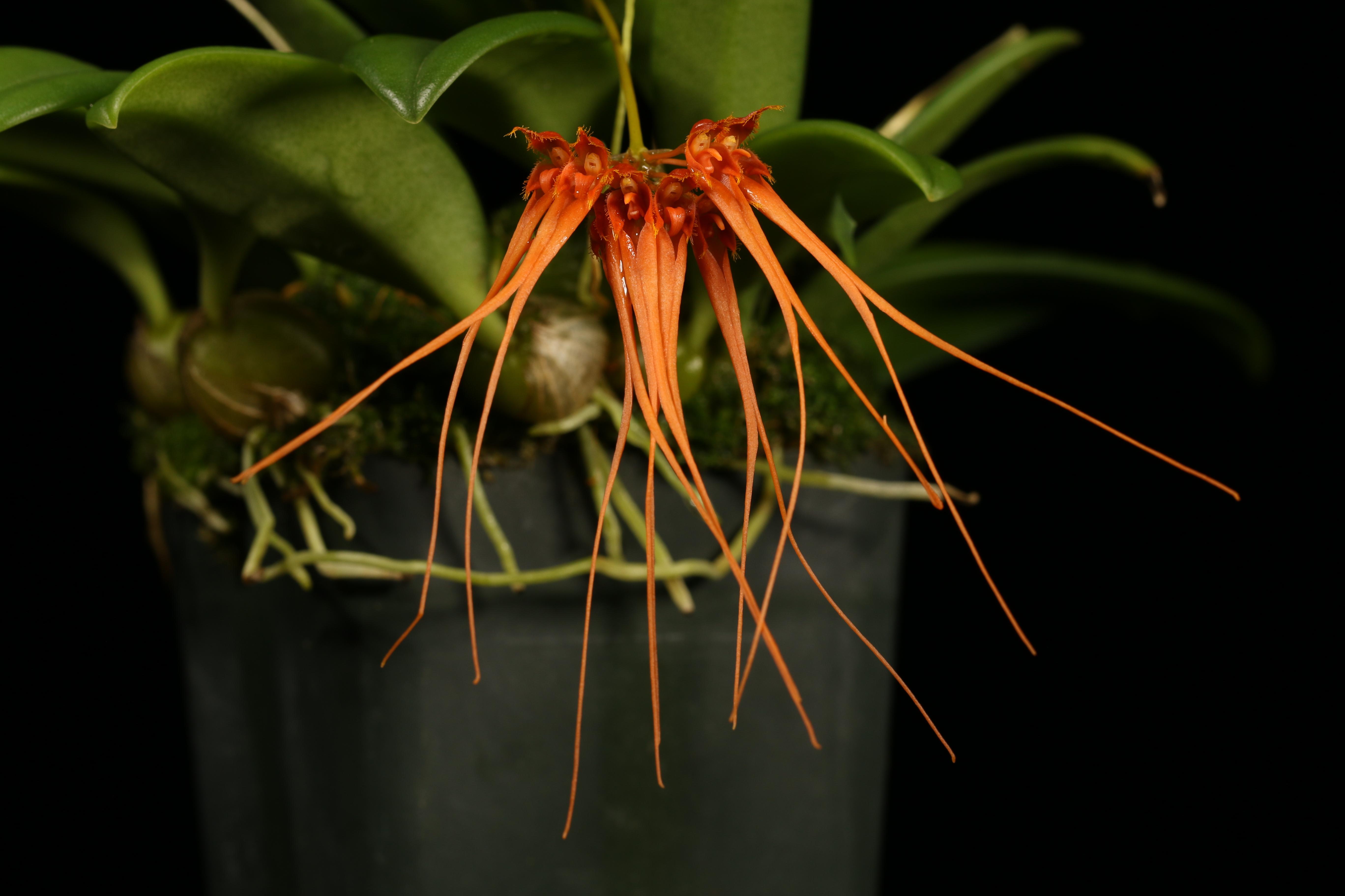 Bulbophyllum tingabarinum