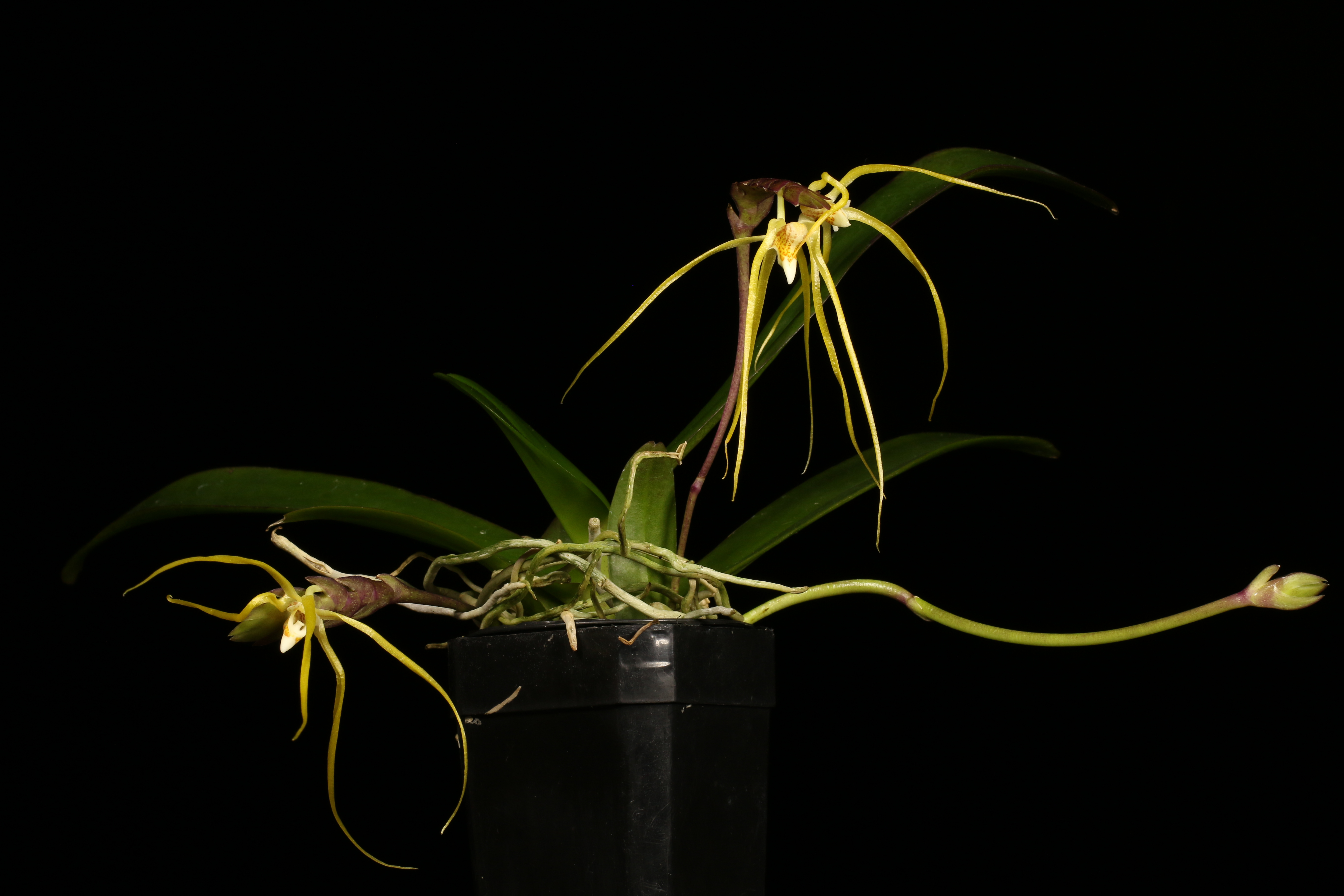 Thrixspermum centipedum